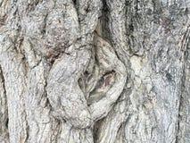 Textura del árbol de tamarindo Fotografía de archivo libre de regalías
