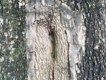 Textura del árbol de tamarindo Fotografía de archivo