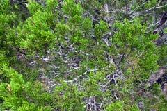 Textura del árbol del enebro Fotos de archivo