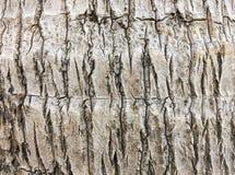 Textura del árbol del plam del coco Imagen de archivo