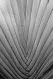 Textura del árbol del viajero en blanco y negro foto de archivo