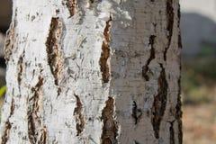 textura del abedul Fotos de archivo libres de regalías