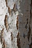 textura del abedul Imagen de archivo