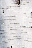 Textura del abedul blanco Fotos de archivo