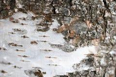 Textura del abedul blanco Foto de archivo libre de regalías
