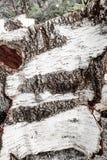 Textura del backgroung de la corteza de abedul Imagen de archivo