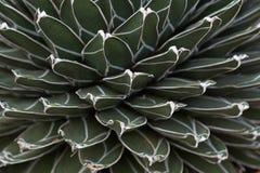 Textura del cactus Imagen de archivo