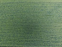 Textura del campo de trigo Fondo del trigo verde joven en el campo Foto del quadrocopter Foto aérea del campo de trigo Fotos de archivo libres de regalías