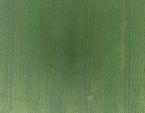 Textura del campo de trigo Fondo del trigo verde joven en la f Fotos de archivo