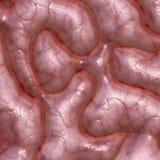 Textura del cerebro Fotografía de archivo