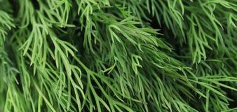 Textura del cierre fresco de la hierba del eneldo para arriba. Foto de archivo