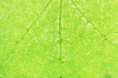 Textura del cierre verde fresco de la hoja de arce para arriba Fotografía de archivo libre de regalías