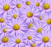 Textura del crisantemo como fondo Fotos de archivo