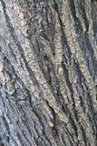 Textura del cuerpo grande del árbol Imagen de archivo libre de regalías
