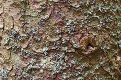 Textura del fondo de la corteza de árbol Pele la corteza de un árbol que remonte agrietarse Fotos de archivo libres de regalías