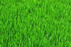 Textura del fondo de la hierba verde Imagen de archivo libre de regalías