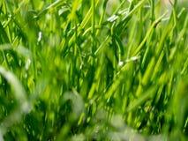 Textura del fondo de la hierba verde foto de archivo libre de regalías