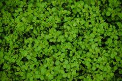 Textura del fondo de la planta verde en el jardín Fotos de archivo libres de regalías