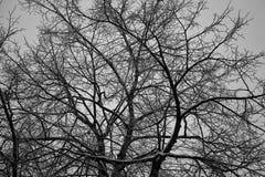 Textura del fondo de las ramas de árbol Armadura hermosa de árboles desnudos Foto de archivo