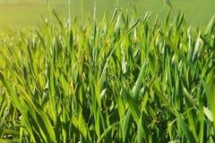 Textura del fondo de una hierba verde con descensos de rocío Primavera, hierba fresca, colores brillantes, verdes naturales, natu Fotografía de archivo