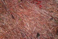 Textura del fondo del rojo las cañas secas en la orilla del lago fotos de archivo libres de regalías