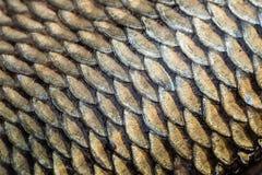 Textura del grunge de las escalas de pescados de la carpa Fotografía de archivo libre de regalías