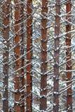 Textura del invierno de los troncos del pino Imágenes de archivo libres de regalías