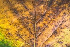 Textura del modelo seco de la hoja Foto de archivo libre de regalías