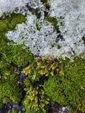 textura del musgo y de la nieve imagen de archivo libre de regalías
