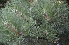 Textura del pino Fotos de archivo libres de regalías