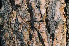 Textura del pino Fotografía de archivo libre de regalías