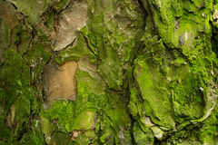 Textura del pino Foto de archivo libre de regalías