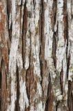 Textura del pino antiguo Imágenes de archivo libres de regalías