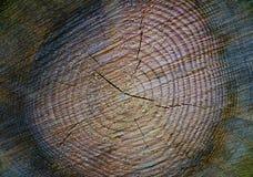 Textura del pino del corte transversal con los anillos anuales Imagen de archivo