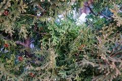 Textura del pino, fondo de las agujas del árbol de navidad Fotos de archivo libres de regalías