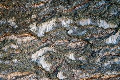 Textura del primer de la corteza de abedul Textura de madera del árbol de abedul Foto de archivo