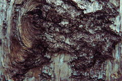 Textura del primer de la corteza de abedul Textura de madera del árbol de abedul Imagenes de archivo