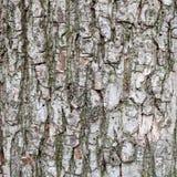 Textura del primer de la corteza de árbol vieja Imágenes de archivo libres de regalías