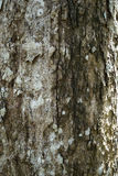 Textura del primer de la corteza de árbol vieja agrietada secada de los vagos maduros del árbol Imagen de archivo