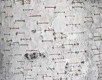 Textura del primer de la corteza de abedul como fondo gris natural para las habas de la foto Foto de archivo