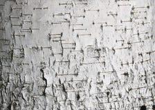 Textura del primer de la corteza de abedul como fondo gris natural para las habas de la foto Fotografía de archivo