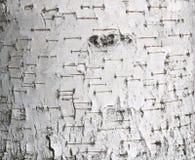 Textura del primer de la corteza de abedul como fondo gris natural para las habas de la foto Foto de archivo libre de regalías