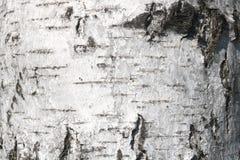Textura del primer de la corteza de abedul como fondo gris natural para las habas de la foto Fotos de archivo