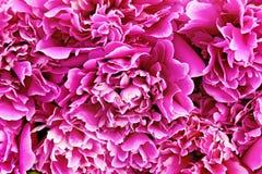 Textura del rosa de la peonía Foto de archivo