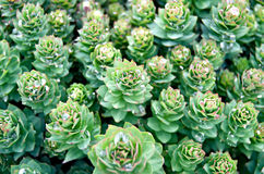 Textura del rosea de Rhodiola Fotografía de archivo libre de regalías
