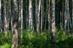 Textura del tronco de árbol de abedul Fotografía de archivo libre de regalías