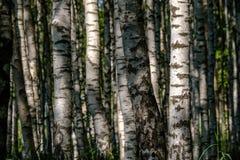 Textura del tronco de árbol de abedul Fotografía de archivo