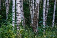 Textura del tronco de árbol de abedul Imagen de archivo libre de regalías