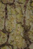Textura del tronco de árbol, cierre para arriba Fotografía de archivo libre de regalías