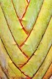 Textura del tronco de la palma Imágenes de archivo libres de regalías